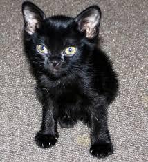 bombay cats history of the bombay greatblack bombays