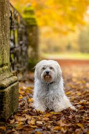 What Dog Sheds The Most by Havanese Dog Breed Information Pictures Characteristics U0026 Facts