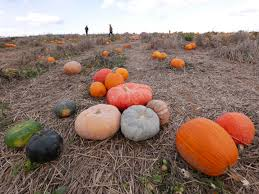 Pumpkin Picking Patchogue Ny by Pumpkin Patch 2015