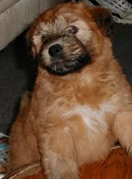 purebred soft coated wheaten terrier puppies for sale find a