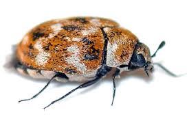 Carpet Weevil Pictures by Carpet Beetles In Florida U0026 Carpet Beetle Pest Control Information