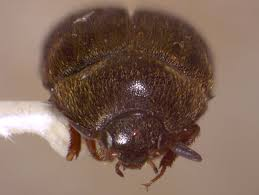 Carpet Weevil Pictures by Black Carpet Beetle Secondary Insect Pest