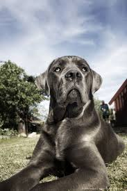Cane Corso Italiano Shedding by 136 Best Cane Corso Images On Pinterest Canes Animals And