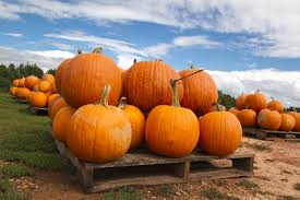Pumpkin Picking Near Lancaster Pa by Family Fun Oregon Dairy