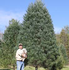 Leyland Cypress Christmas Tree by Iredell U0027s Only Cut Your Own Tree Farm Likely In Final Year News