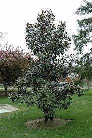 Kay Parris Magnolia Magnolia grandiflora Kay Parris in