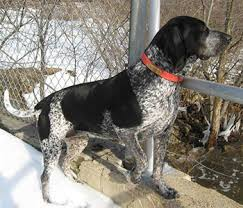 Do Bluetick Coonhounds Shed by Bluetick Coonhound Hardy Hunting Hound