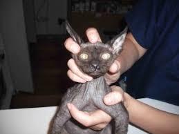 clindamycin for cats cat flu cat