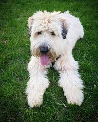 23 best wheaten terrier images on pinterest terriers irish and
