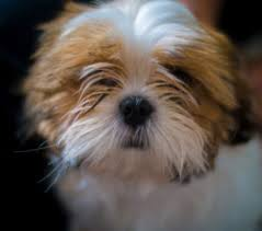 No Shedding Dog Breed by 10 Small Dog Breeds That Don U0027t Shed Small Non Shedding Dogs