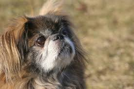 information on a chihuahua pekingese mix pets