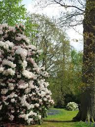Bowood House rhodondendron azalea and magnolia garden in bloom