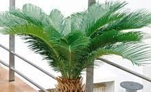 palmiers d intérieur entretien plantes jardinerie truffaut
