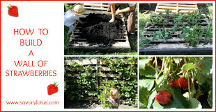 How To Build A Wall Of Strawberries Savorylotus