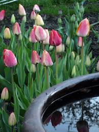 be bold with tulips bulbs fall bulbs gardener s supply