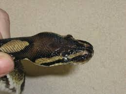 Corn Snake Shedding Signs by Retained Eyecaps In Reptiles Causes And Solutions