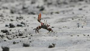 Do Hermit Crabs Shed Shell by How Do Crabs Mate Reference Com
