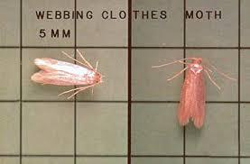 Webbing Clothes Moths