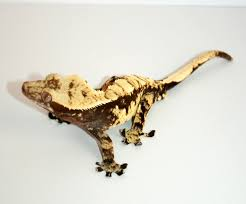 Crested Gecko Shedding Behavior by How To Breed Crested Geckos