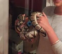 Ball Python Shedding Eating by Ball Python Reptiles Rehome Buy And Sell In Dartford Preloved
