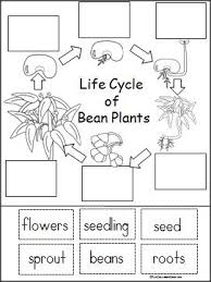 Life Cycle Of A Bean Plant Free Printable