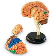 Halloween Jello Molds Brain by Learning Resources Brain Anatomy Model Walmart Com