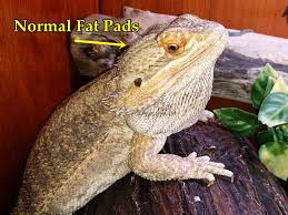 Bearded Dragon Shedding Help by Bearded Dragon Care My Bearded Dragon Is Too Skinny Dehydrated
