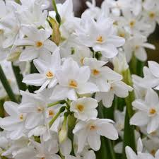 how to plant care for paperwhite bulbs easy to grow bulbs