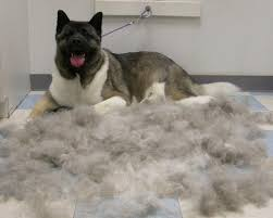 how double coated dog owners deal with coat blow