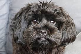 Dog Breeds That Dont Shed Uk by Mixed Breed Dogs The 13 Cutest Mixed Breed Dogs