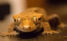 Crested Gecko Shedding Signs by Crested Gecko Babies U0026 Hatchlings