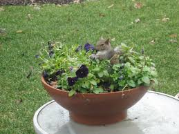 squirrels are my pansies lawn cats yard