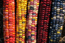 Heirloom Corn Varieties - Beautiful!   Heirloom Vegetables, Fruits ... Prettiest Popcorn I Ever Did Grow The Unfettered Fox Glass Gem Corn Littlegirlstory Glass Gem Corn The Cover Of Our Whole Seed Catalog Carls Flint Is An Unbelievably Stunning Bred By Part Hdenosaunee The Iroquois Confederacy Tuscarora White Oliveloaf Design Afbeeldingsresultaat Voor Peru Brazil Colored Pinterest 9 Best Sweetcorn Images On Color 2 Cob And Maze Story Behind Business Insider 1293 Indian Fruit Pink Popcorn