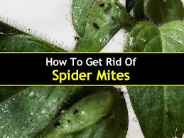 Remains Of The Day Spiders by How To Get Rid Of Spider Mites T1 800x600 Jpg