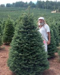 Silvertip Christmas Tree Orange County by Wholesale Farms California Christmas Tree Association