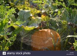 Pumpkin Patch Tarantula Scientific Name by Zipper Spider Stock Photos U0026 Zipper Spider Stock Images Alamy
