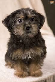Do Morkies Shed A Lot by Yorkiepoo Yorkapoo Yoodle A Unique Mixed Breed Dog Pets4homes