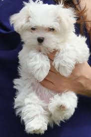 Small Non Shedding Dogs by Best 25 Smallest Dog Breeds Ideas On Pinterest Smallest Dog