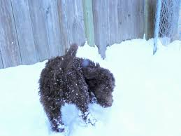 Do F1 Aussiedoodles Shed by Labradoodle Puppies For Sale Aussiedoodle And Labradoodle Puppies