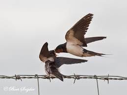 Birdwatching Alentejo Portugal Barn Swallow, Boerenzwaluw ... European Barn Swallow Hirundo Rustica Stock Photo Royalty Free Swallow Idaho Birds Audubon Guide To North American Posing On A Fence Of Ukraine Birdwatching Alentejo Portugal Boerenzwaluw Barn Stock Image Image Young 67199779 Detailed Close Up Hinterland Whos Who Or The Uk And Ireland Male Swallows
