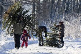 Christmas Tree Has Aphids by How To Check Christmas Tree For Bugs Simplemost