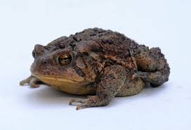 Do Aquatic Dwarf Frogs Shed Their Skin by American Toad Wikipedia