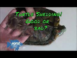 Turtle Shell Not Shedding Properly by Summer Bogo Turtle Shell 2 0 Promo Worldnews