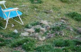 Sheltie Shedding In Clumps by Blowing Coat In The German Shepherd Gsd Shedding