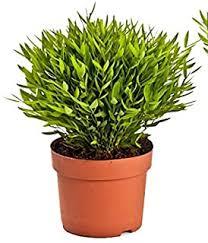 suchergebnis auf de für bambus zimmerpflanze garten