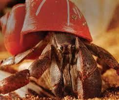 Halloween Hermit Crab Care by Hermit Crab Care Procedures Pet Care Article Petco Com