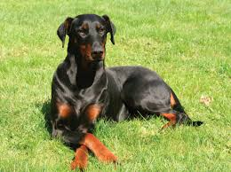 Do Miniature Pinschers Shed A Lot by Doberman Pinscher Dog Breeds At Mypetsmart Com