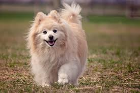 Big Dogs That Dont Shed Badly by What Is The Best Dog Food For A Pomeranian