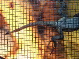 Improper Shedding Bearded Dragon by Fence Lizards Clinging To The Top Of The Cage