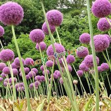 10x purple allium globemaster allium giganteum flower
